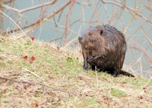 bigstock-Beaver-18034547
