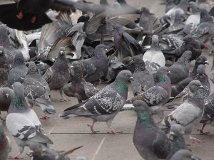 Pigeon Removal and Control