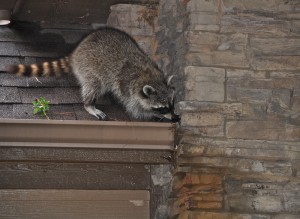 Raccoon Removal St Louis