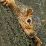 Squirrel Removal, Squirrel Control