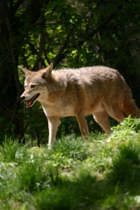 coyote removal and control