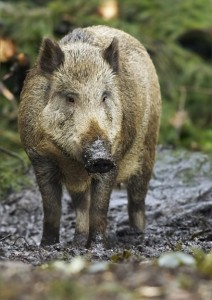 Feral Hog Removal and Control
