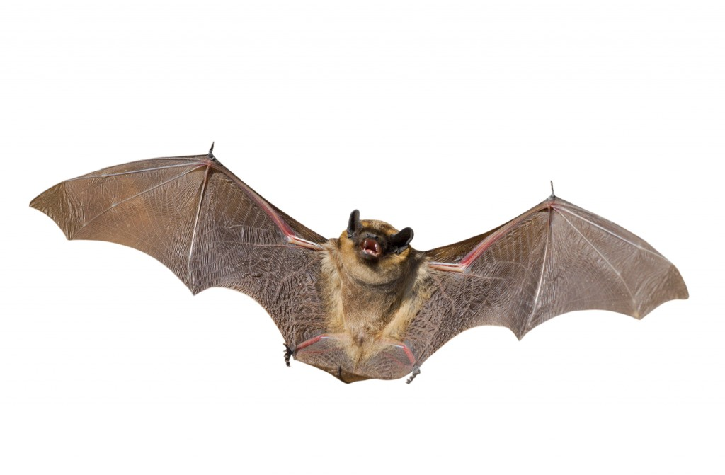 Bat exclusion, removal and trapping