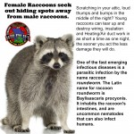 Raccoon removal,trapping,control