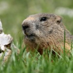 Groundhogs digging in the yard or garden is a very common call.