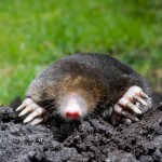 Mole digging in yard