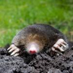 Mole digging in yard