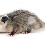 Opossum in yard, trash can digging