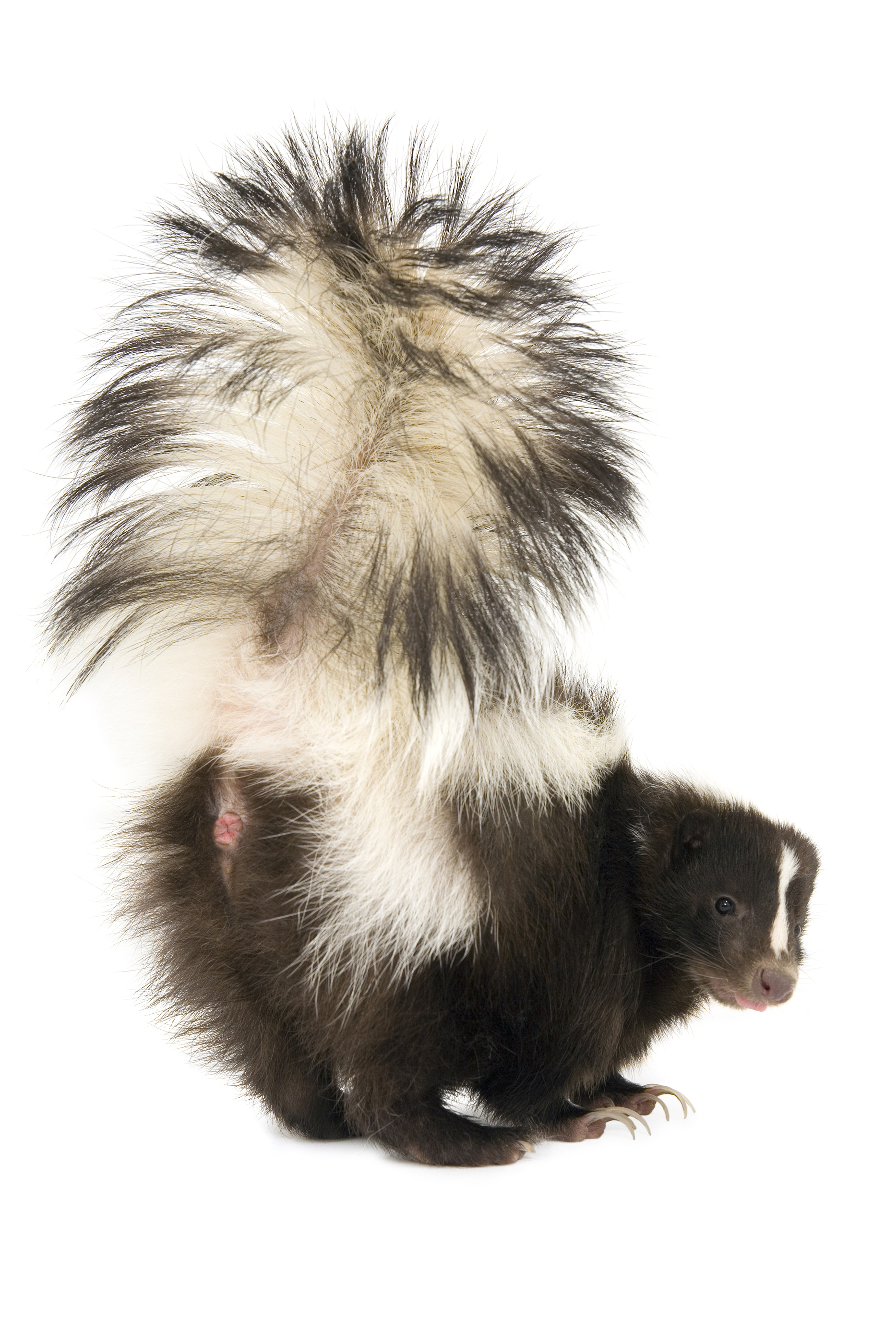 How To Take Care Of A Skunk