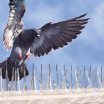 Pigeon Removal Capture and Control with pigeon spikes