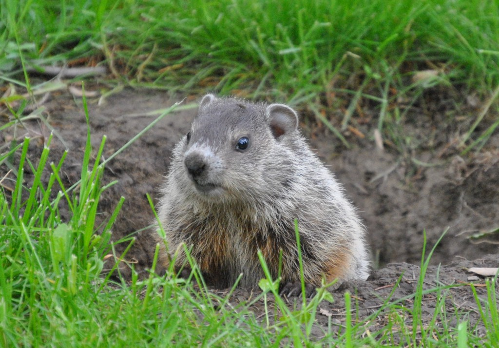 Groundhog Control Prevention | Wildlife Command Center MO