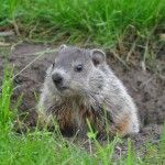 Groundhog removal and Woodchuck control. Wildlife Command Center