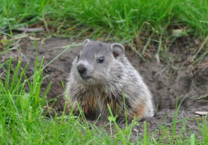 Hello There, Mr. Woodchuck
