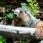 Groundhog Removal and Control