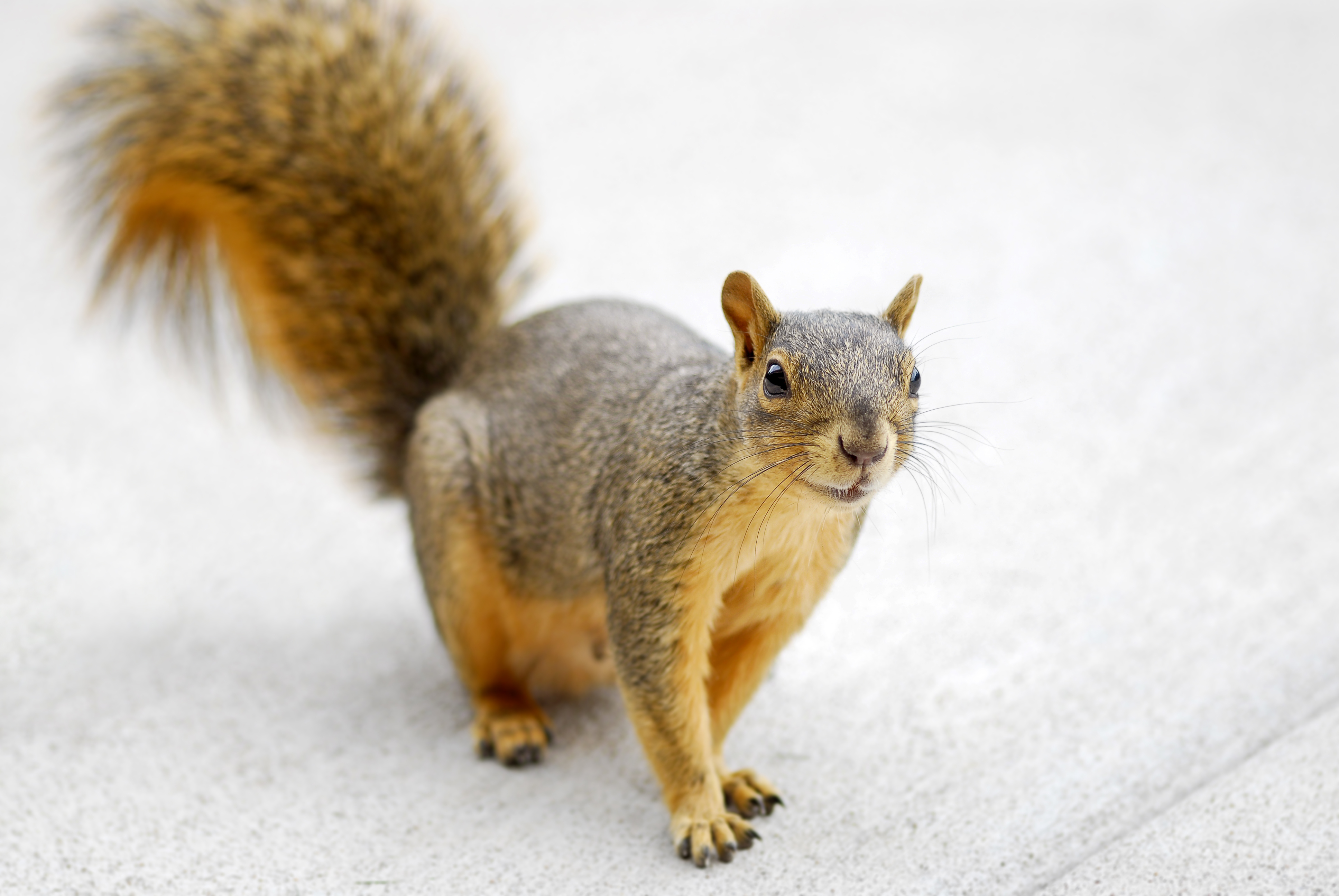 how to get rid of squirrels wildlife command center mo