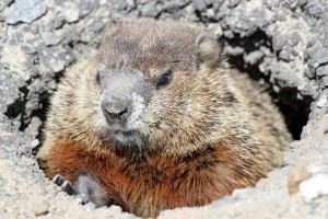 groundhog-burrow