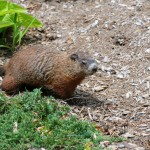 Groundhog digging in garden, Woodchuck digging in my yard, Groundhog removal and capture