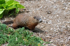 groundhog-in-garden