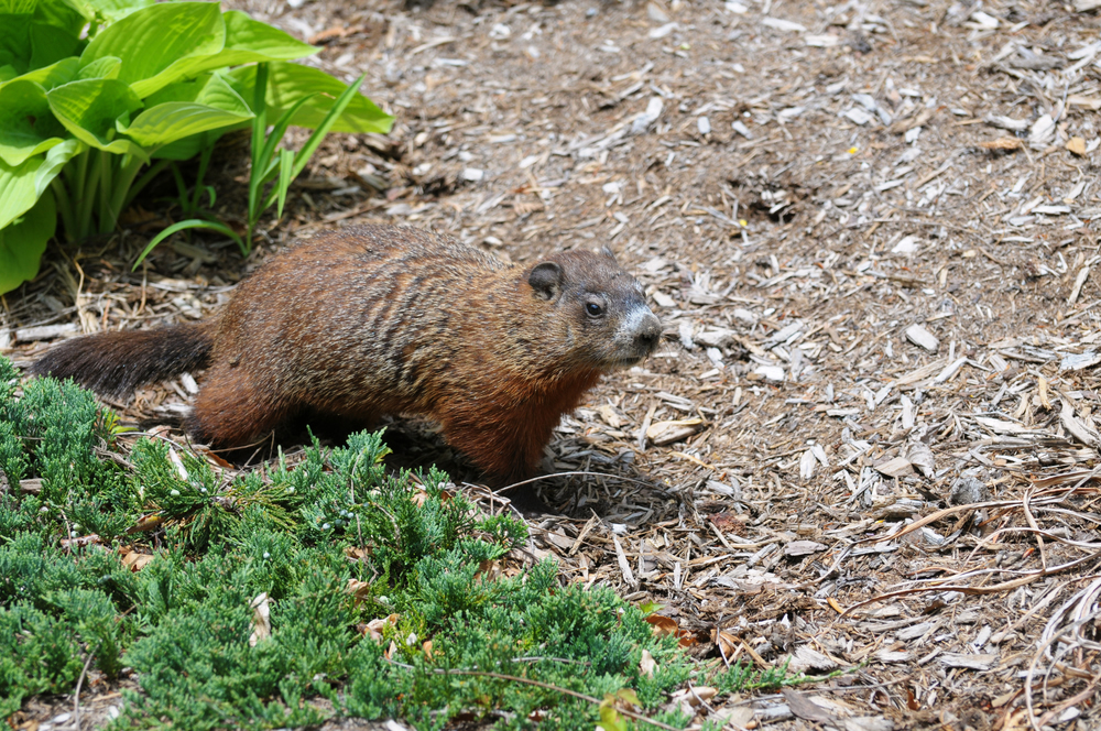 Groundhog Digging In Garden Woodchuck My Yard Removal And Capture