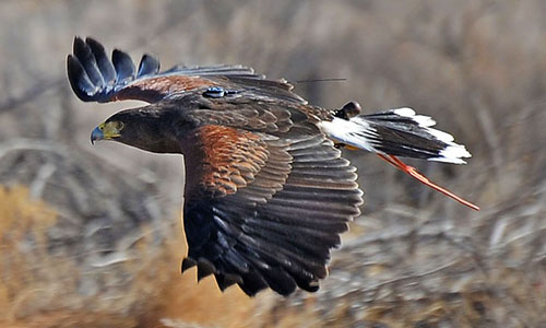 Falconry Services Chance M Beran