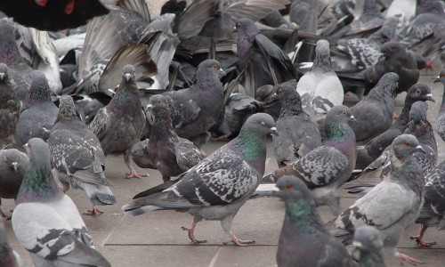 messy pigeons