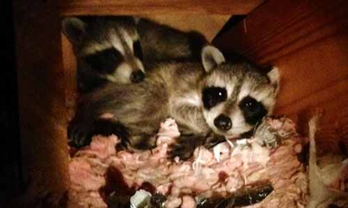 Get Rid Of Raccoons Wildlife Command Center Mo