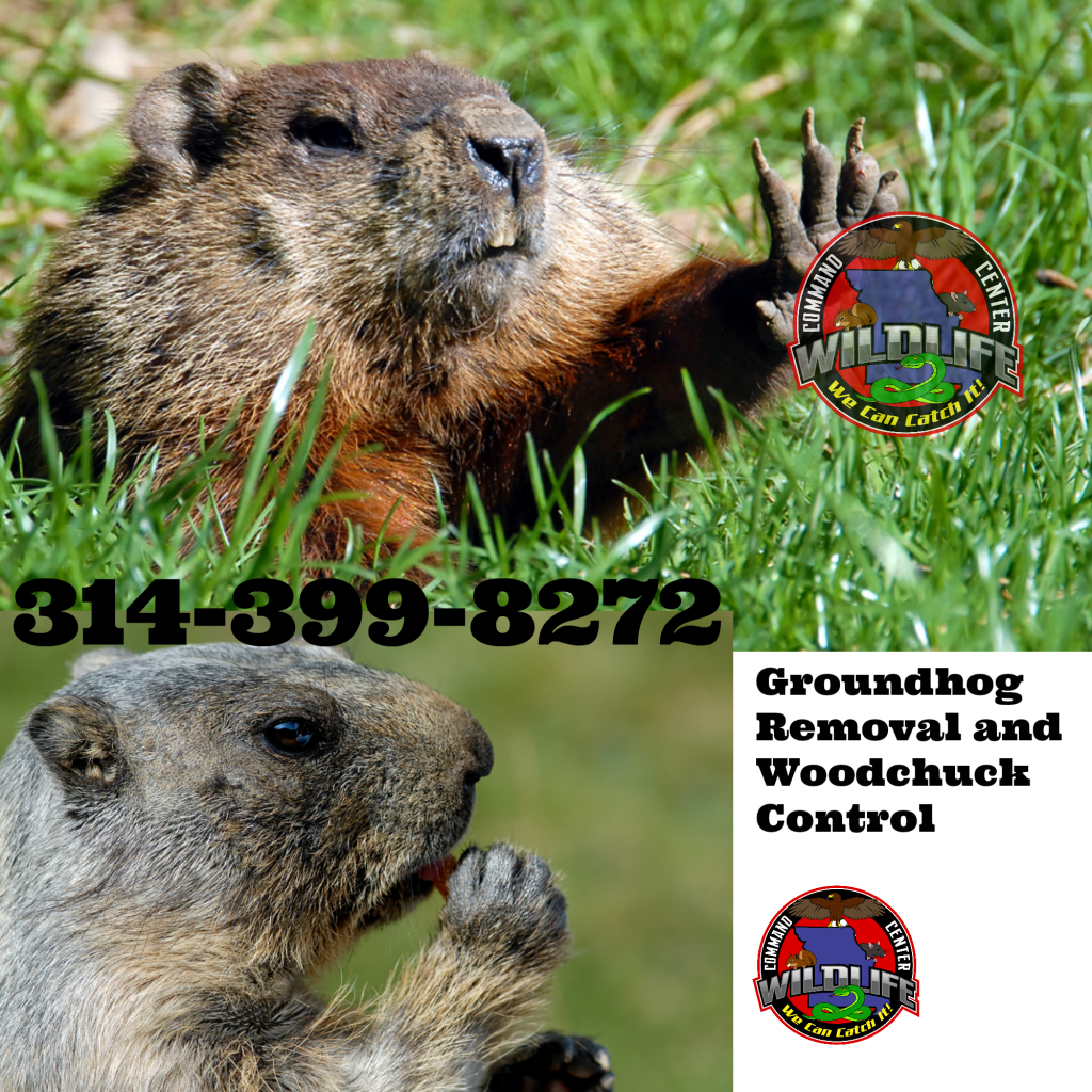 Groundhog Woodchuck removal control how to get rid of Whistle Pigs