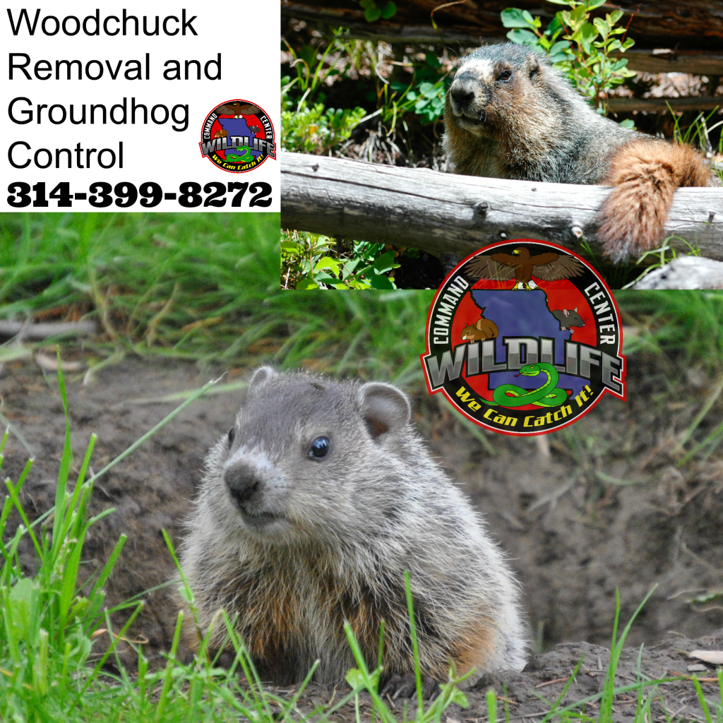 Best Groundhog removal company in St Louis Missouri