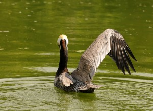 Brown pelican with injured wing in a protected sanctuary