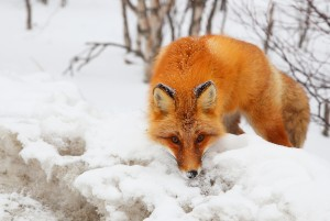 314-399-8272 Red Fox Removal