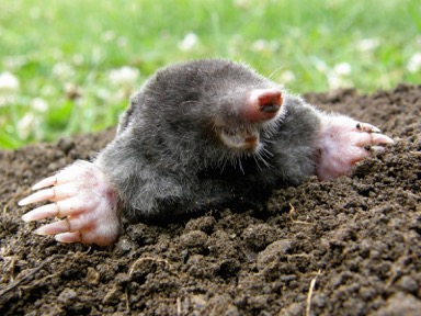 bigstock-Laughing-Mole-41132920