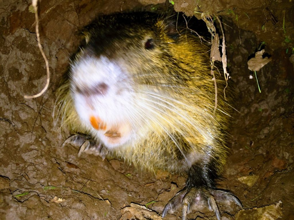 Wildlife Command Center Swamp Rat