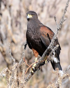 Harris Hawk Pigeon Control