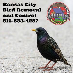 KC Bird Removal
