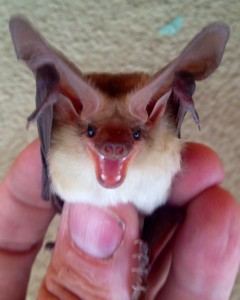 new mexico bat