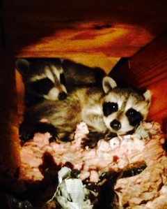 raccoons-in-the-attic