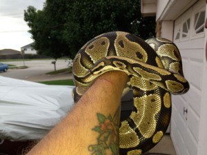 rescued ball python